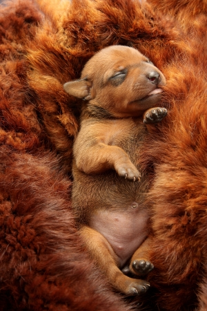 The Miniature Pinscher puppy, 5 days old photo