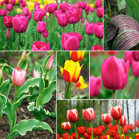 efflorescence: Tulips. A bulbous spring-flowering plant of the lily family, with boldly colored cup-shaped flowers.