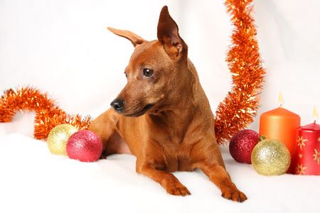 Brown Miniature Pinscher lying down in front of white background Stock Photo