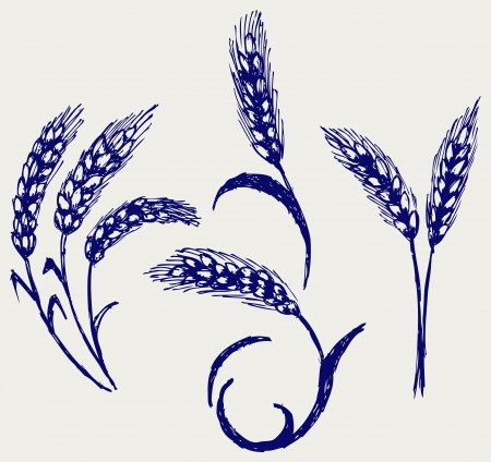 Wheat and rye. Doodle style Vector