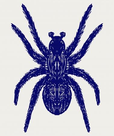 tarantula: Spider tarantula. Doodle style Illustration