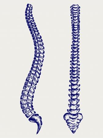 colonna vertebrale: Colonna vertebrale Anatomia Umana. Doodle stile