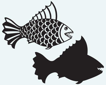 pygocentrus: Fish piranha isolated on blue background