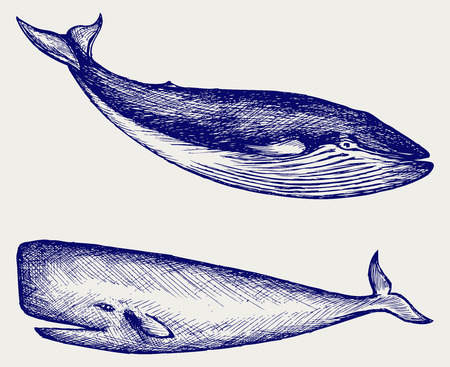 baleen whale: The Humpback whale  Doodle style Illustration