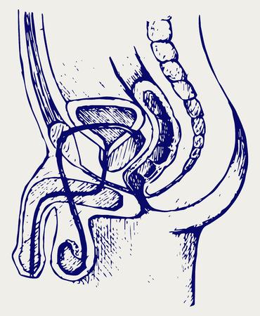 pene: Sistema urinario masculino. Doodle estilo Vectores