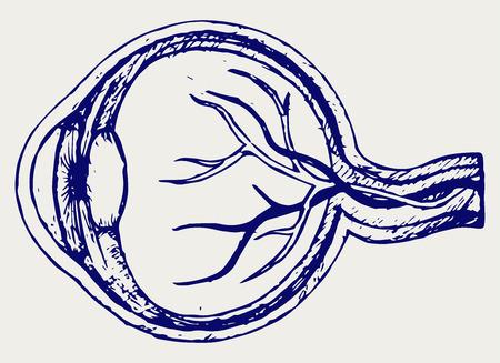 Human eye anatomy. Doodle style Illustration