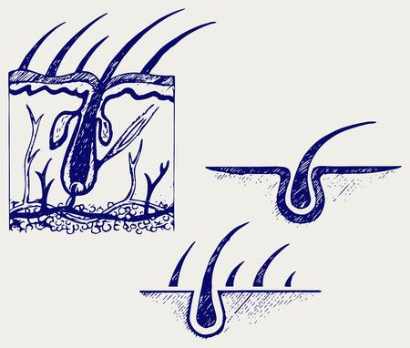 follicle: Anatom�a del pelo y el fol�culo del pelo. Doodle estilo