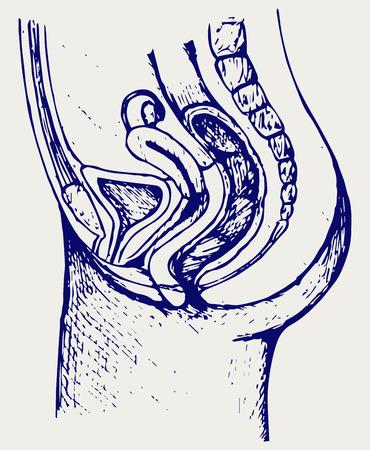 vesicle: Female urinary system. Doodle style