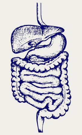 układ pokarmowy: Wewnętrzny układ pokarmowy człowieka. Doodle styl Ilustracja