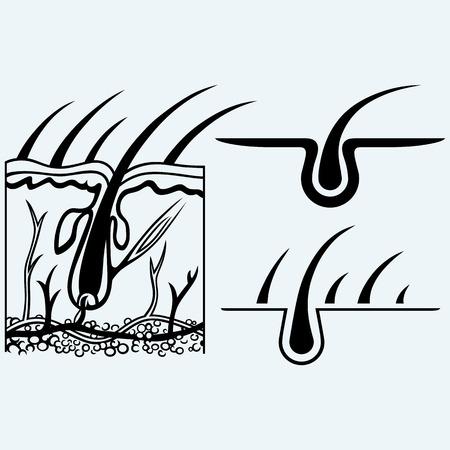 anatomía: Anatomía del pelo y el folículo piloso. Aislado en el fondo azul