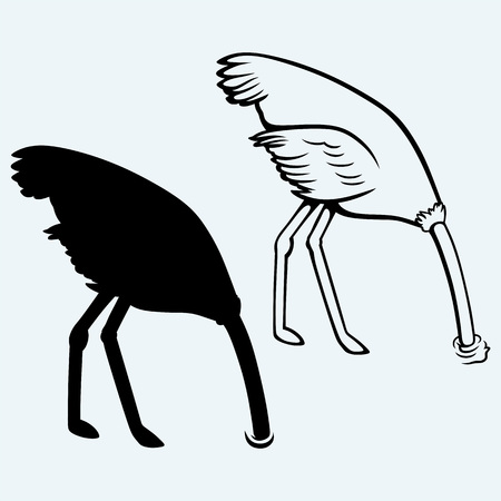 head in the sand: Ostrich burying its head in sand. Isolated on blue background Illustration