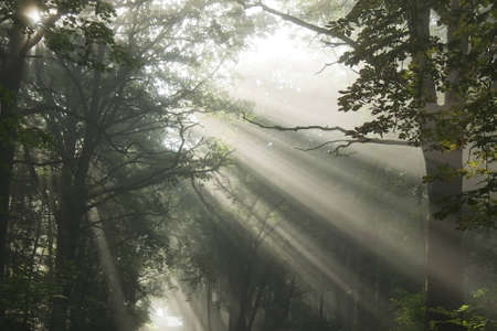 Sun's rays, visible through the trees in the misty morning Stock Photo - 9350725