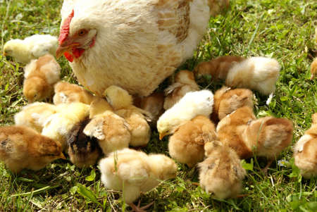 Chicken feed their young chicks photo