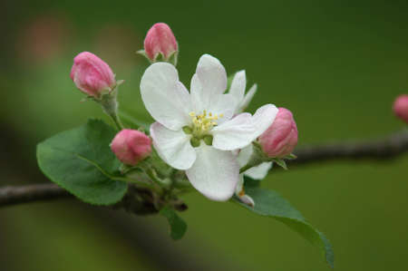 Macro view white flowers of apple tree                   photo
