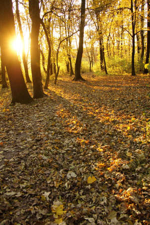 Rays of the setting sun in a forest in autumn Stock Photo - 9584598