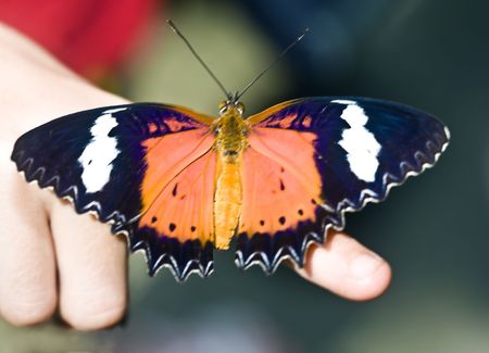 Beautiful  butterfly on child finger. Insect. photo