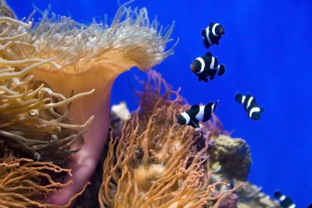 Coral fish and actinia in blue water. Stock Photo - 4878652