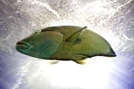napoleon fish:  Reef fish napoleon in blue water.Nature.