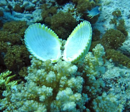 Group of coral and open seashell in blue water. Snorkeling in Red sea. Stock Photo - 5633189