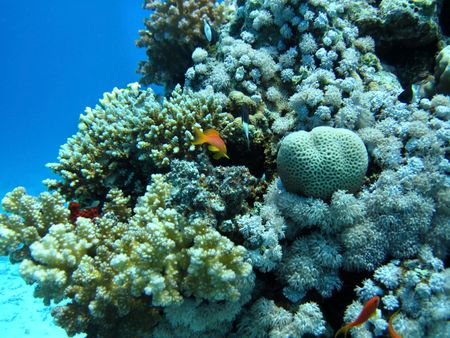 Group of coral in blue water. Snorkeling in Red sea. photo
