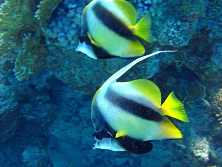 Coupleof coral fish  in blue water. Snorkeling in Red sea. photo