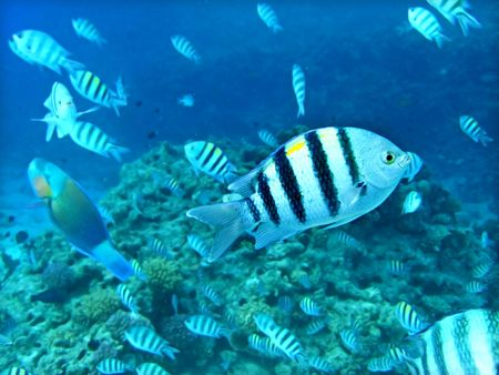 Group of coral fish in blue water.Red sea. Egypt. Stock Photo - 5688378