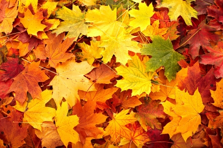 coloured: Background group autumn orange leaf. Outdoor.