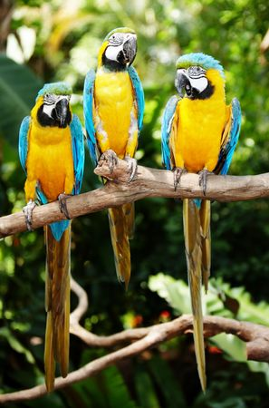 Three parrot in green rainforest. Outdoor. photo