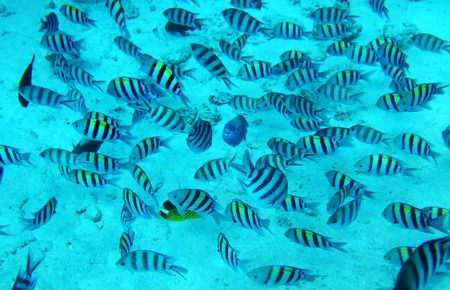 Group of coral fish in blue water.Red sea. Egypt. Stock Photo - 6644676