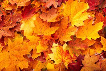 autumn background: Background group autumn orange leaves. Outdoor. Stock Photo