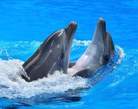 Aantal dolfijnen zwemmen in het blauwe water.  Stockfoto