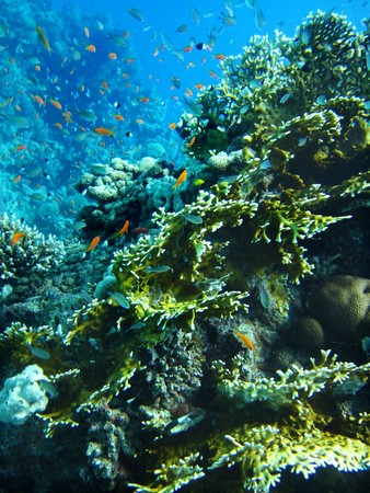 actinia: Group of coral fish  in blue water.