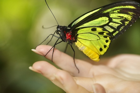 Beautiful butterfly on child hand. Insect. photo