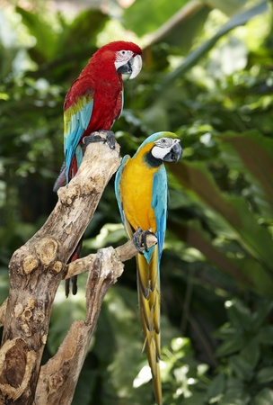 Two parrot in green rainforest. Outdoor. photo