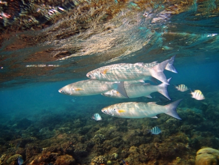 Group of coral fish  in blue water. Stock Photo - 8781130