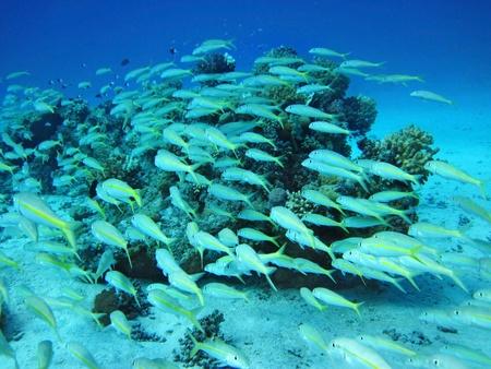 Group of coral fish  in blue water. Stock Photo - 8781410