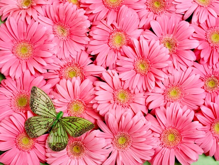 Background of gerbera flower. photo