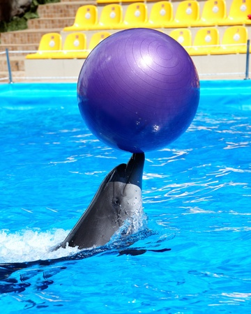 Dolphin with ball in blue water. photo