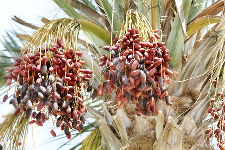 date palm tree: Date palm with branch of dates. Close-up.