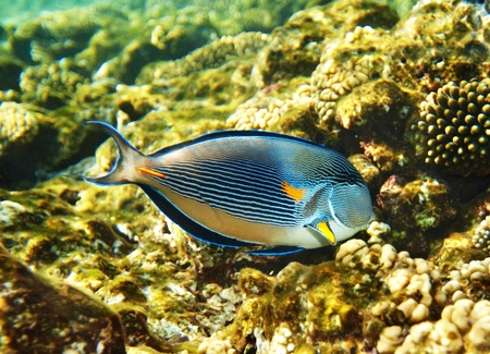 Group of coral fish  blue water. Stock Photo - 11174756