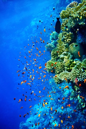 peces de acuario: Grupo de coral de aguas pescado azul.