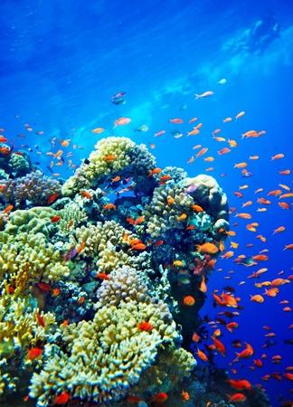 corallo rosso: Gruppo di acqua corallo pesce azzurro. Archivio Fotografico