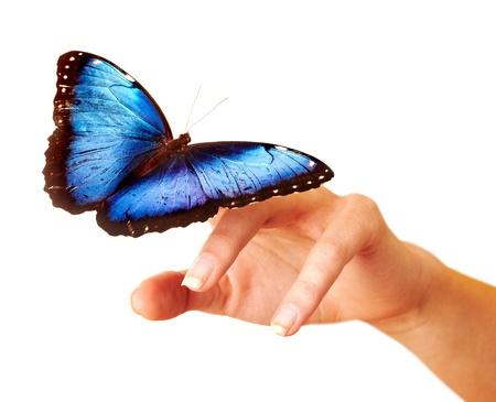 morpho menelaus: Mariposa en la mano. Aislado.