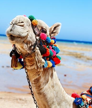 east coast: Camel head at Egypt beach.