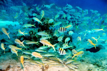 actinia: Group coral fish in blue water. Stock Photo