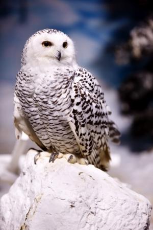 Snowy Owl Standard-Bild