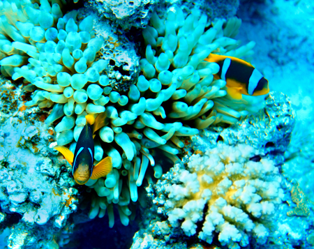 actinia: Group of coral fish  blue water.