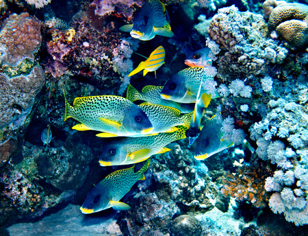 actinia: Group of coral fish  blue water