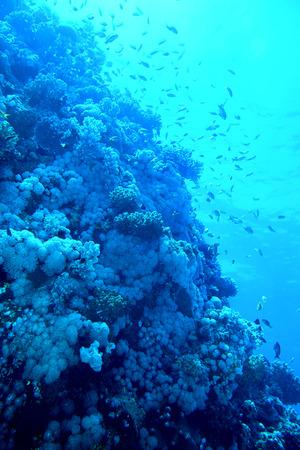 actinia: Grupo de peces de coral grupo azul agua.