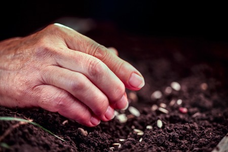 croft: Hand of an elderly woman throwing seeds in the ground. Planting seeds in spring. Future concept. Stock Photo